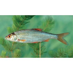 Nástražní ryba